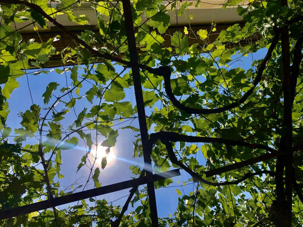 Image: A photo of a grape vine canopy located at the author's grandmother's house. The side of the house's yellow facade is visible in the top part of the photograph. The sky is a clear, bright blue and the grape vine leaves are bright green. Photo by the author.